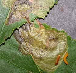 Birch Leaf Miner Larvae