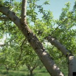 Symptoms of Cytospora Canker on Apple Tree