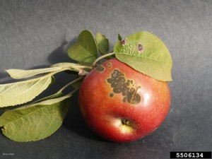 Apple scab Calgary