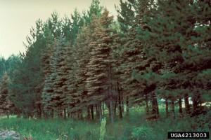 Spruce Needle Rust Calgary overall